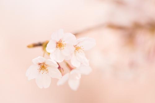 背景桜の花